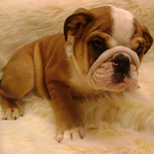 Cachorro de Bulldog inglés
