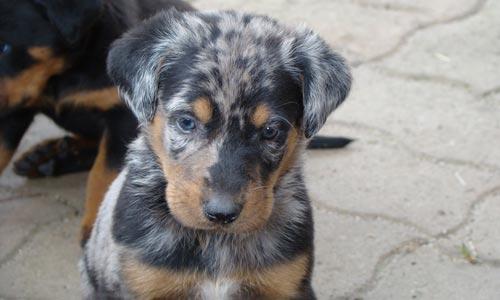 Cachorros Beauceron