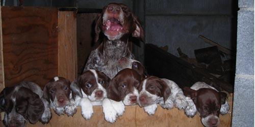 Cachorros de Braco Francés