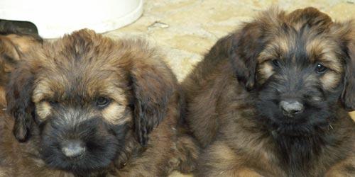 Cachorros de Briard