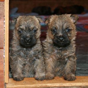 Cachorros de Cairn Terrier