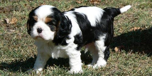 Cachorros de Cavalier King Charles