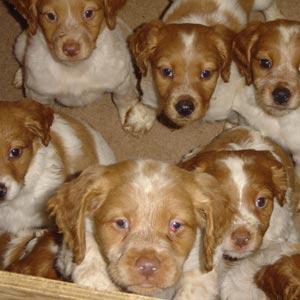 Cachorros de Epagneul Bretón