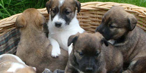 Cachorros de Fox Terrier