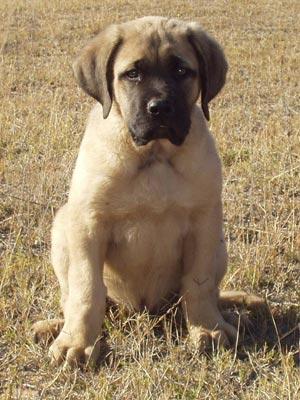 Cachorros de Mastiff