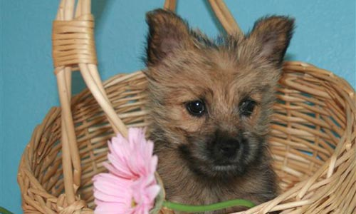 Cachorros de Norwich Terrier