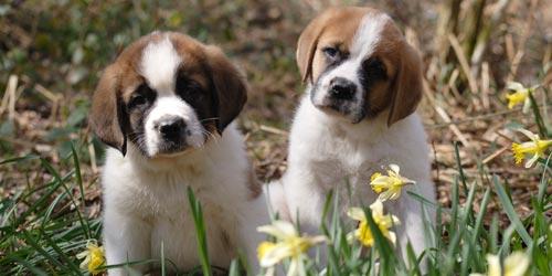Cachorros de San Bernardo