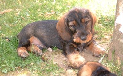 Cachorros de Teckel o Dachshund