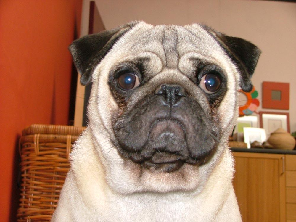 Fotos de perros pug carlino 21