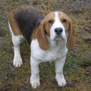 Fotos de un perro Beagle