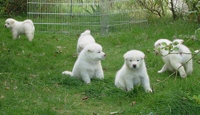 Fotos de perros Akita Inu
