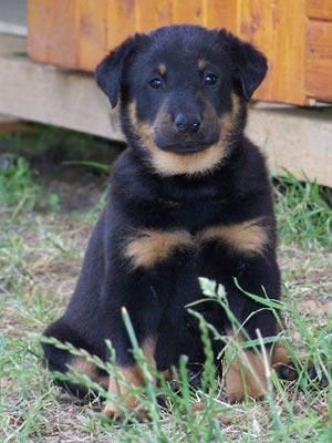 Fotos de perros Beauceron