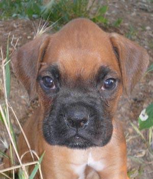 Fotos de perros Bóxer