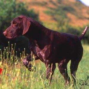 Fotos de perros Braco alemán