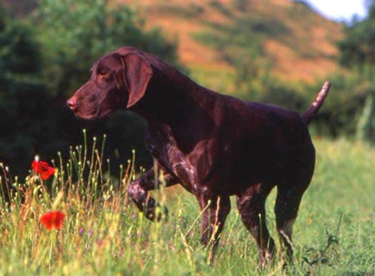 Raza Braco Alem 225 N Fotos De Perros Braco Alem 225 N