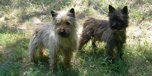Fotos de perros Cairn Terrier