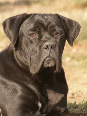 Fotos de perros Cane Corso