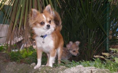 Fotos de perros Chihuahua
