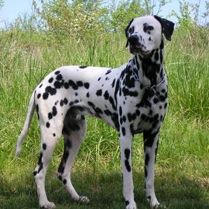 Fotos de perros Dálmata