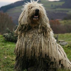 Fotos de perros Komondor