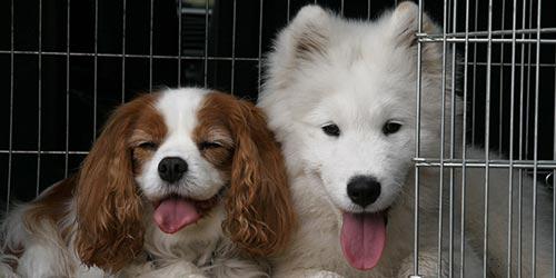 Fotos de perros Samoyedo