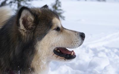 Fotos de la raza Alaskan Malamute