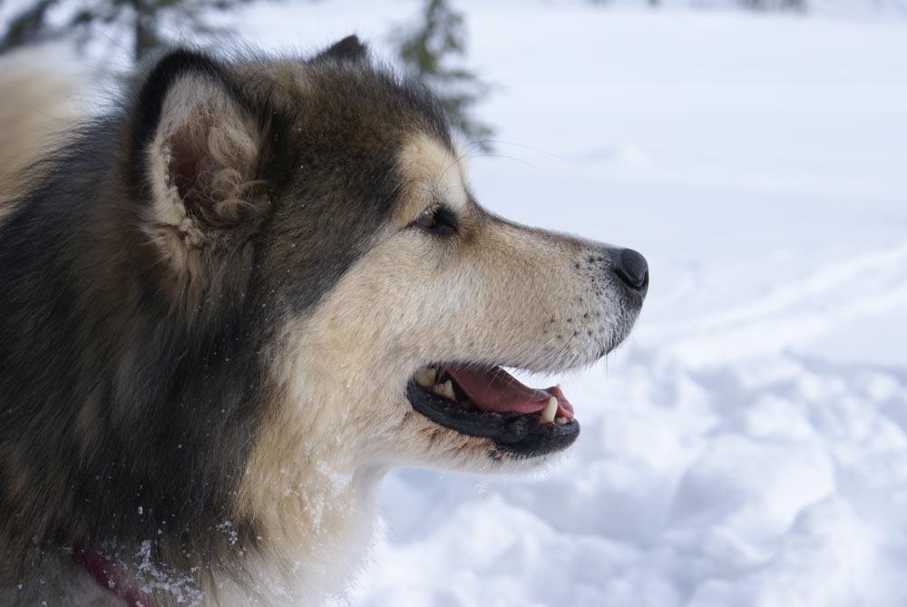 Raza Alaskan Malamute....