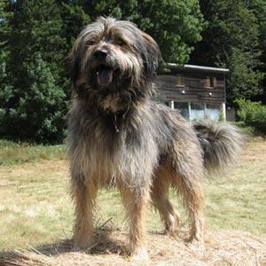 Fotos de la raza Gos d'Atura