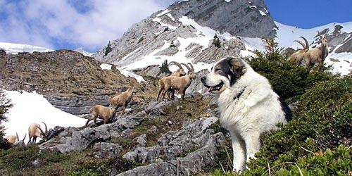Fotos de la raza Montaña de Pirineos
