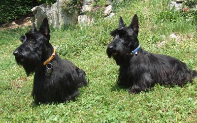 Fotos de Scottish Terrier