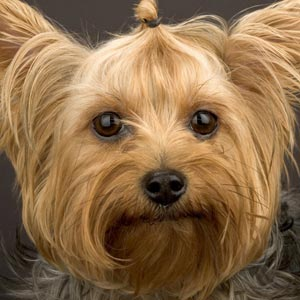 Fotos Yorkshire Terrier