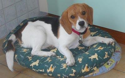 Imágenes perros Beagle