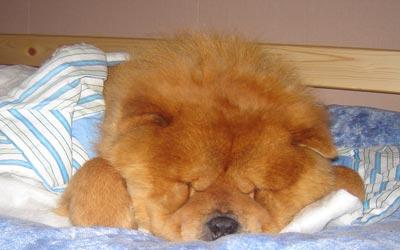 Imágenes de perros Chow Chow