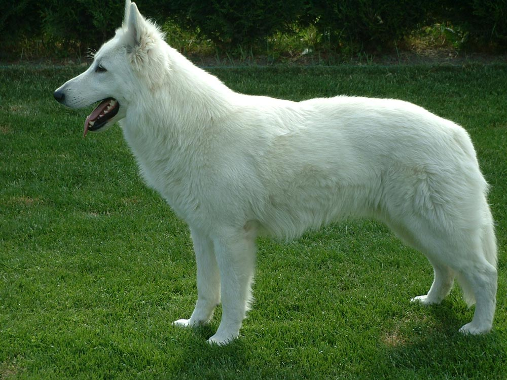 Husky Siberiano - Perros - mundoAnimalia.com