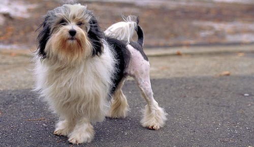 Perro Pequeño Perro León