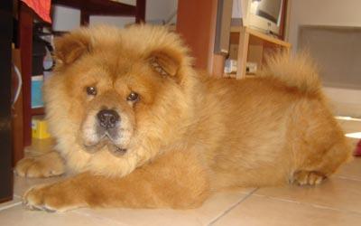 Perro raza Chow Chow