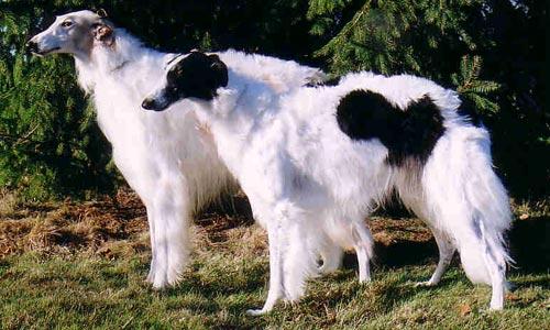 Perros Barzoi o Lebrel Ruso