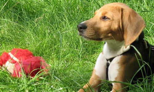 Perros Beagle Harrier
