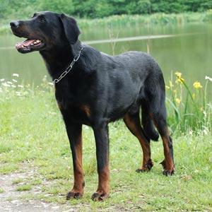 Perros Beauceron