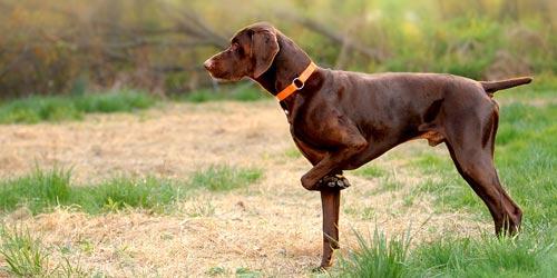Perros Braco alemán