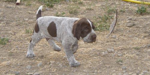 Perros Braco Francés