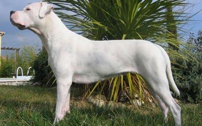 Perros Dogo argentino