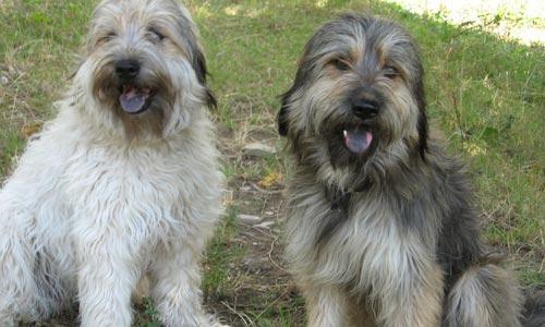 Perros Gos d' Atura o pastor catalán