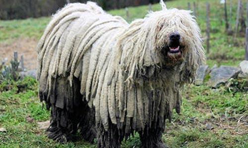 Perros Komondor