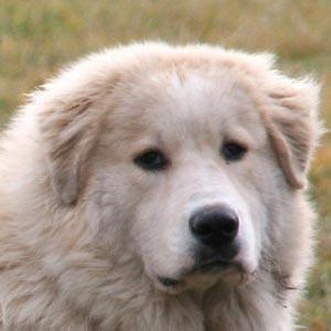 Perros Montaña de Pirineos