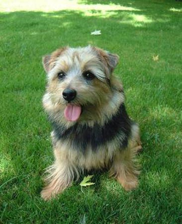 Norfolk Terrier Puppies on Norfolk Terrier Dog Puppy