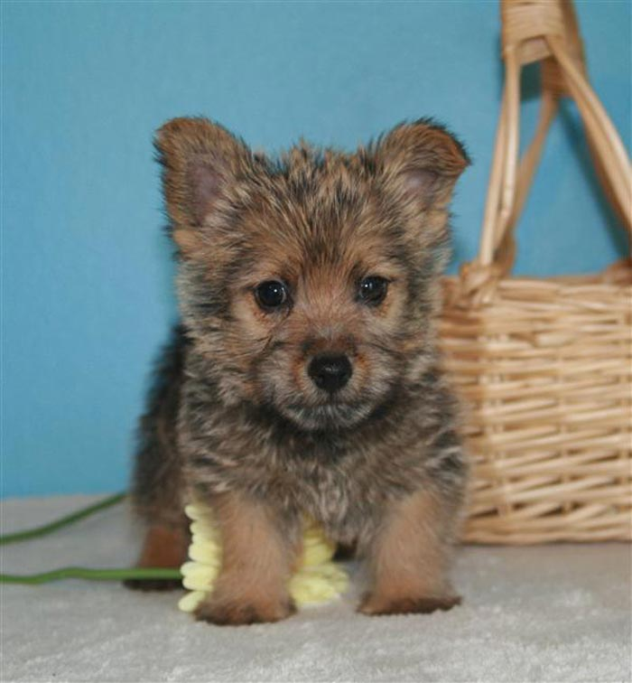 terrier dog breeds. The Norwich Terrier is a reed