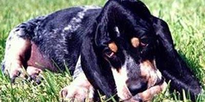 Perros Pequeño Azul de Gascuña