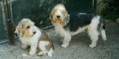 Perros pequeño Basset Griffon