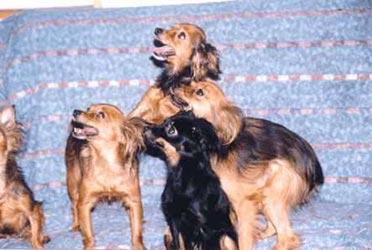 Perros Pequeño perro ruso